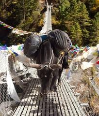 Yaks people on rope hanging suspension bridge