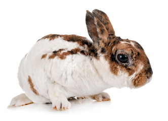 miniature Rex rabbit