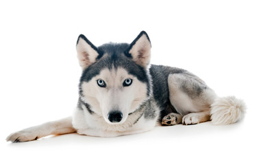siberian husky in studio