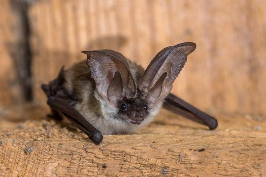 Grey long eared bat