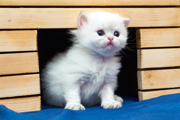 Little white fluffy British kitten sitting in a cat house made of wood and looks forward with interest