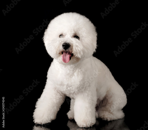 Bichon is isolated on a black background  Bichon Frise puppy