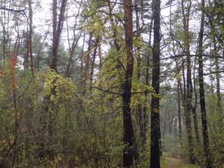 pine forest, pine, spruce, conifer - сосновый лес, сосна, ель, хвойное дерево