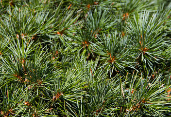 pine green needle tree