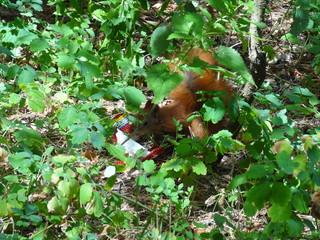 forest red squirrel, squirrel in nature, squirrel in the forest - лесная рыжая белка, белка в природе, белка в лесу