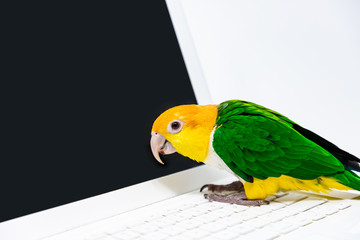 An exotic green and yellow parrot is listening to music from a laptop