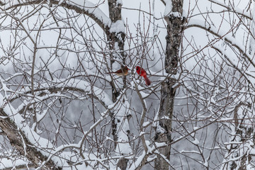 Male and Female Cardinals in Snowy Tree