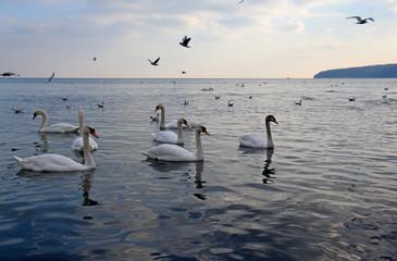 Лебеди и чайки в Чёрном море, Варна (Болгария)