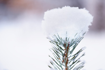 Green fluffy fir branch in the snow against the background of the forest. The concept of winter wallpaper.