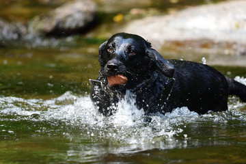 Wet black Labrador fetching a stone out of a river