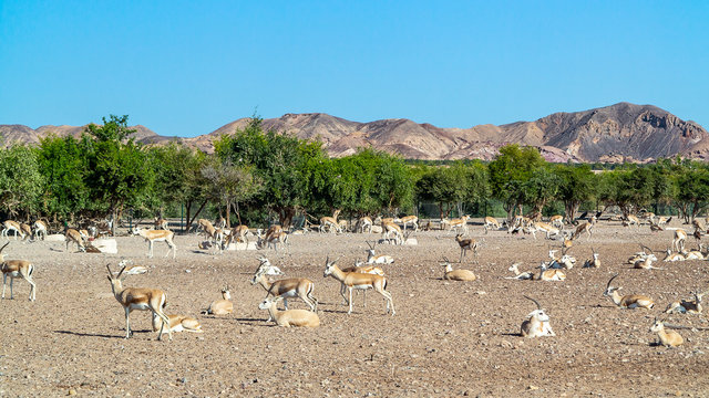 Antelope group in a safari park on the island of Sir Bani Yas, United Arab Emirates