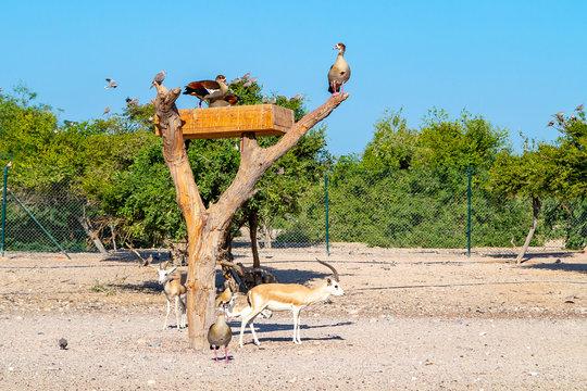Group of antelopes and birds in Safari Park on Sir Bani Yas island, United Arab Emirates