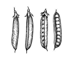 Ink sketch of pea.