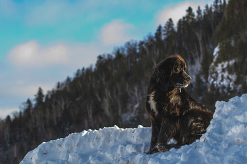 Beautiful Black Newfoundland Dog in Winter in Quebec Canada