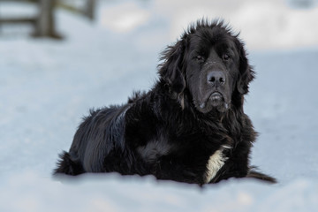 Black Newfoundland Dog Laying in the Snow in Quebec Canada Close Up
