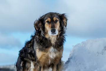 Beautiful Multicolored Dog in Winter, Yellow and Black Dog