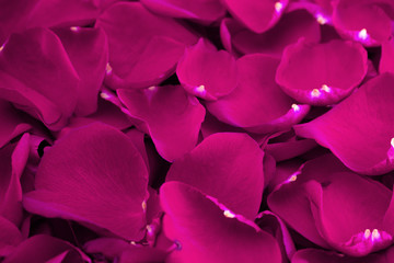 Background of Fresh Bright Pink Rose Petals