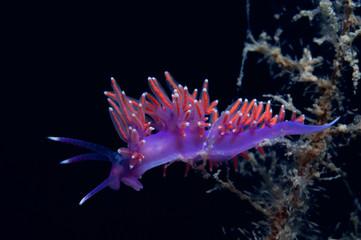 A small purple invertebrate slides over the algae in search of food.