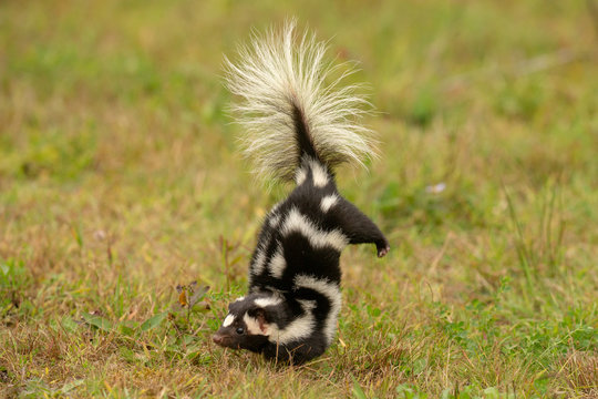 Eastern Spotted Skunk doing handstand before spraying taken under controlled conditions