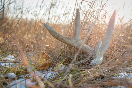 Whitetail shed in a field with lens flare