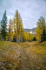 Hike through larch trees