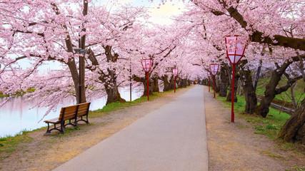 Full bloom Sakura - Cherry Blossom  at Hirosaki park, Japan