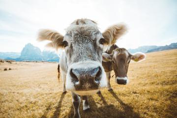 Funny cows staring into camera
