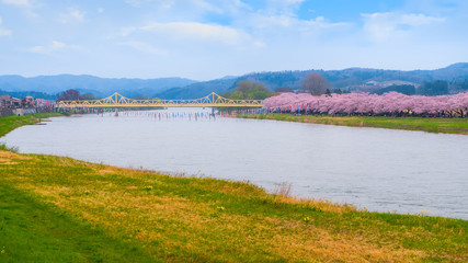 Foto op Aluminium Nieuw Zeeland Iwate , Japan - April 22 2018: Kitakami Tenshochi park located by the Kitakami River, renowned as one of the Three Best Cherry-Viewing Spots in Tohoku region along with Hirosaki and Kakunodate