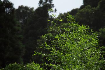 雨上がりの濡れた竹