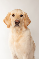 Portrait of young retriever dog