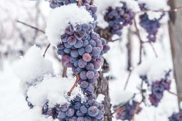 Ice wine. Wine red grapes for ice wine in winter condition and snow Fototapete