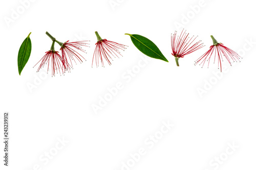 New Zealand Christmas Tree Flowers Isolated On White Background With
