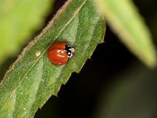 Spotless Lady Beetle (Cycloneda sanguinea)