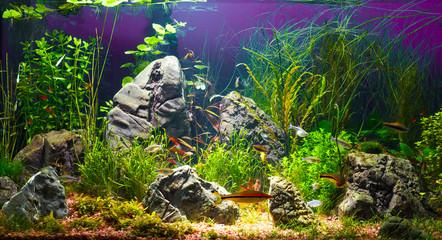 Large planted tropical fresh water aquarium with small fishes in interior