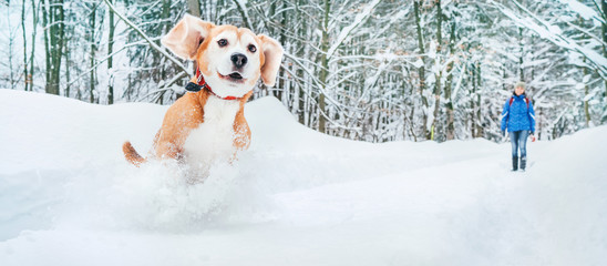 Active beagle dog running in deep snow. Winter walks with pets concept image.