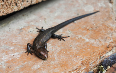 Lizard on the road. Close-up.