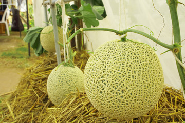Fresh cantaloupe melons plants growing in the greenhouse farm.