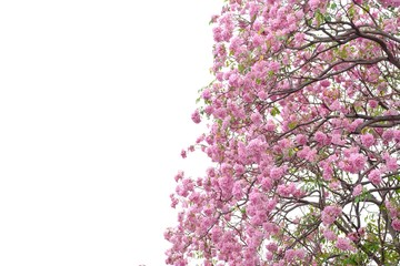 Sweet pink tabeuia flowers blossom with leaves branches on white isolated background