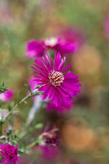 Pink blühende Blume im Herbst