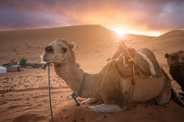 Camel lying on sand dunes in front of a camp. Amazing sunset over the dunes Erg Chebbi in the Sahara desert near Merzouga, Morocco , Africa. Beautiful sand landscape with stunning sky.