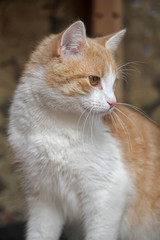 shorthair red and white cat portrait