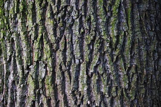 old oak bark texture
