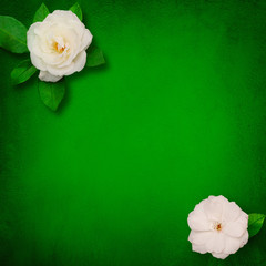 Square Beautiful Flower background with white roses