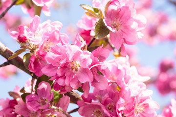 Flowering of the apple tree. Spring background of blooming flowers. White and pink flowers. Beautiful nature scene with a flowering tree. Spring flowers. Abstract blurred background