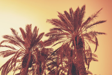 A row of tropic palm trees against the sunset sky. Silhouette of tall palm trees. Tropic evening landscape