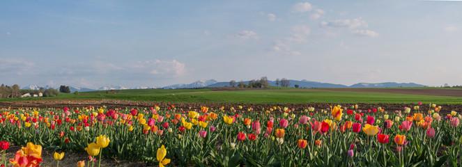 Fototapete - buntes Tulpenfeld - im Hintergrund die Alpenkette