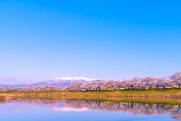 Shiroishigawa-tsutsumi Hitome Senbonzakura, Cherry blossoms with snow-covered Zao Mountain in background along the bank of Shiroishi river