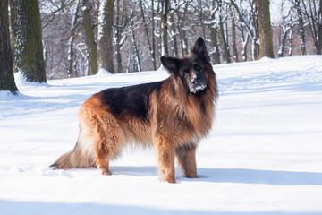 German Shepherd in the winter forest