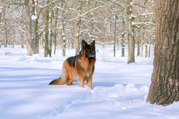 German Shepherd in the winter forest...