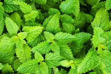 melissa plant texture